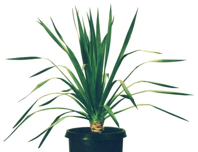 buy dracaena draco palms for sale from san diego we deliver. Black Bedroom Furniture Sets. Home Design Ideas